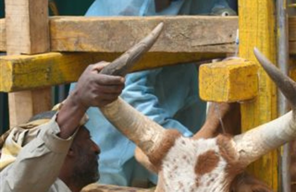 A veterinary expert from the Indian Batallion (INDBATT 6) attends to a  cow at an UNMEE 'open house' for farmers and livestock  in Adigrat, May 2007. Over the life of the Mission, more than 89,000 livestock of every kind were treated and vaccinated free of charge by INDBATT Veterinarians in Adigrat,. (Photo: Ian Steele)